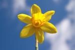 Cheery Daffodil